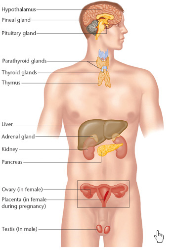 Endocrine System on pancreas location in female